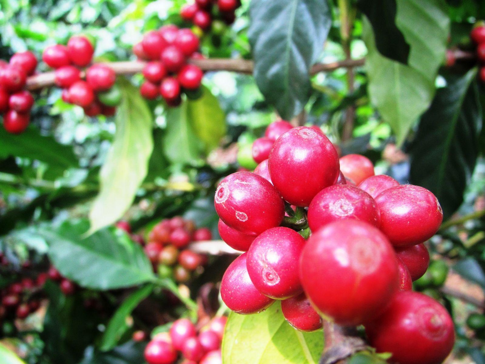 Chất lượng bắt đầu từ vườn cà phê
