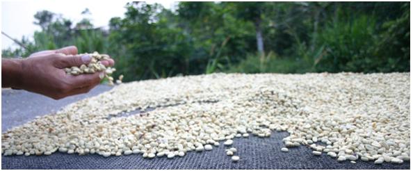 cà phê được mang đi phơi nắng hoặc sấy khô