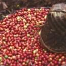 Phương pháp sấy cà phê nguyên quả tươi