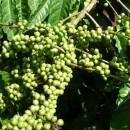 Sản lượng cà phê Việt Nam dự báo xuống thấp nhất 4 năm